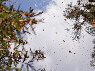 The Monarch Butterfly Migration from Mexico